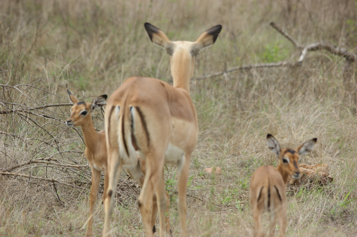 Most common antelope - Impala