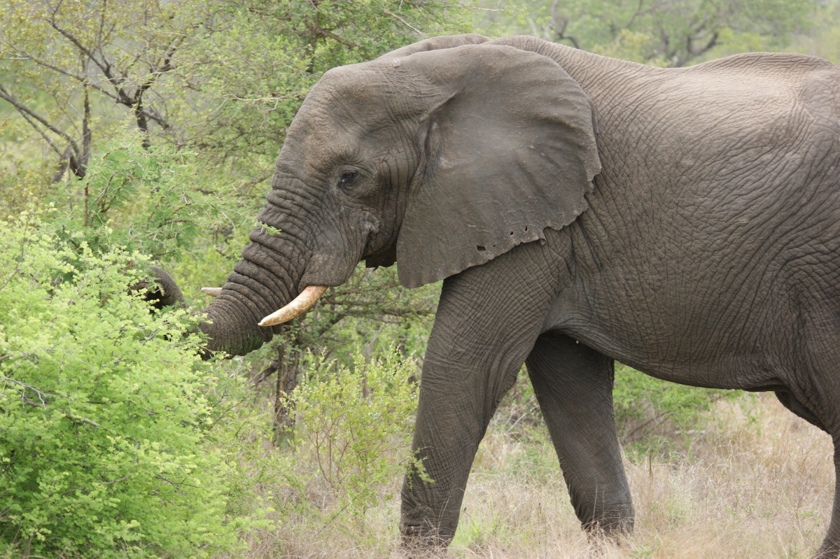 National Parks in South Africa -A Brief History of the Kruger National Park