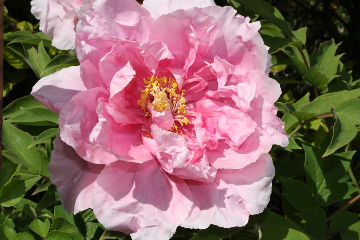 Beautiful rose of Fraueninsel.