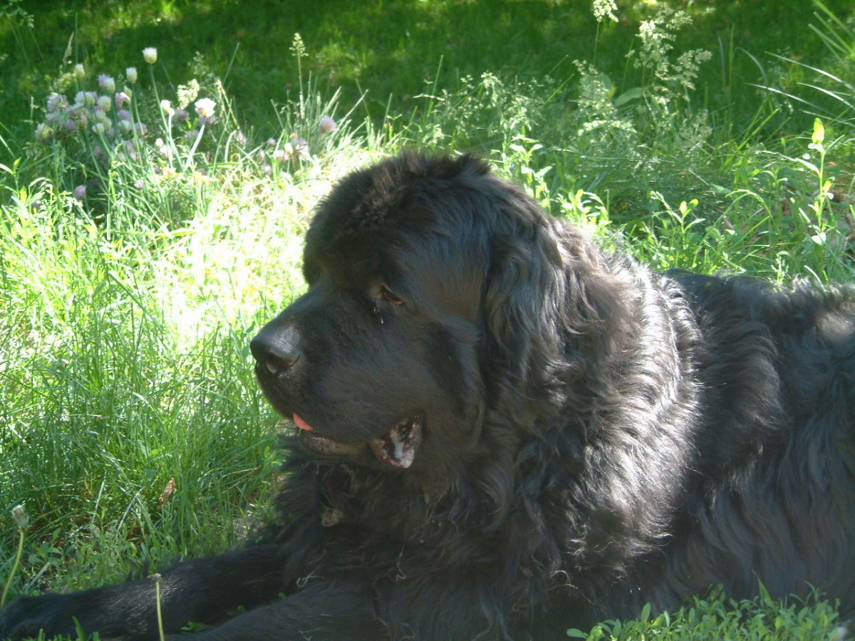 My male Newfoundland dog named Bruce basking in the sun.