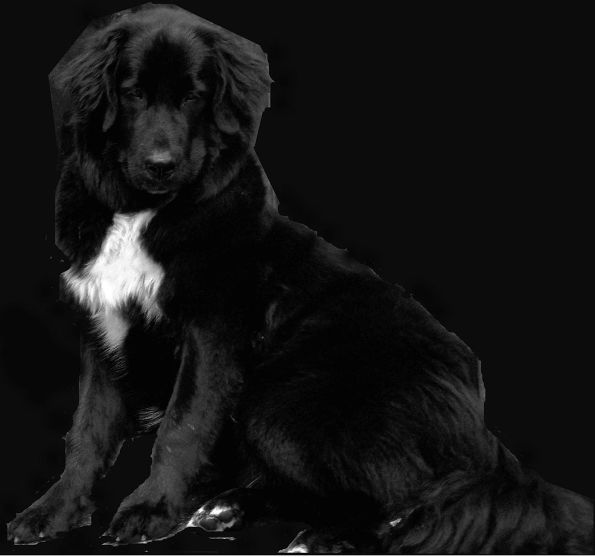My Female Newfoundland dog named Magz