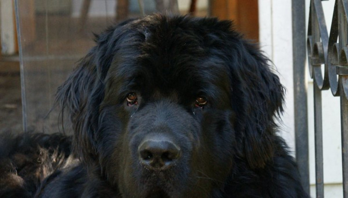 Bruce is a true gentle and loving Newfoundland dog.