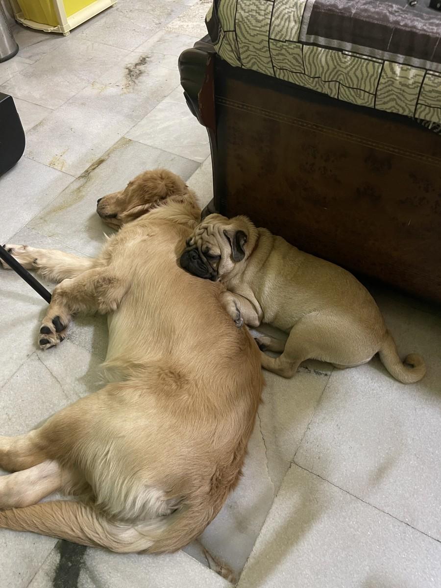 Austin (Golden Retriever) sleeping with Choco(Pug)