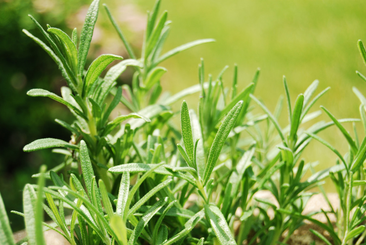 Fresh rosemary from a home herb garden