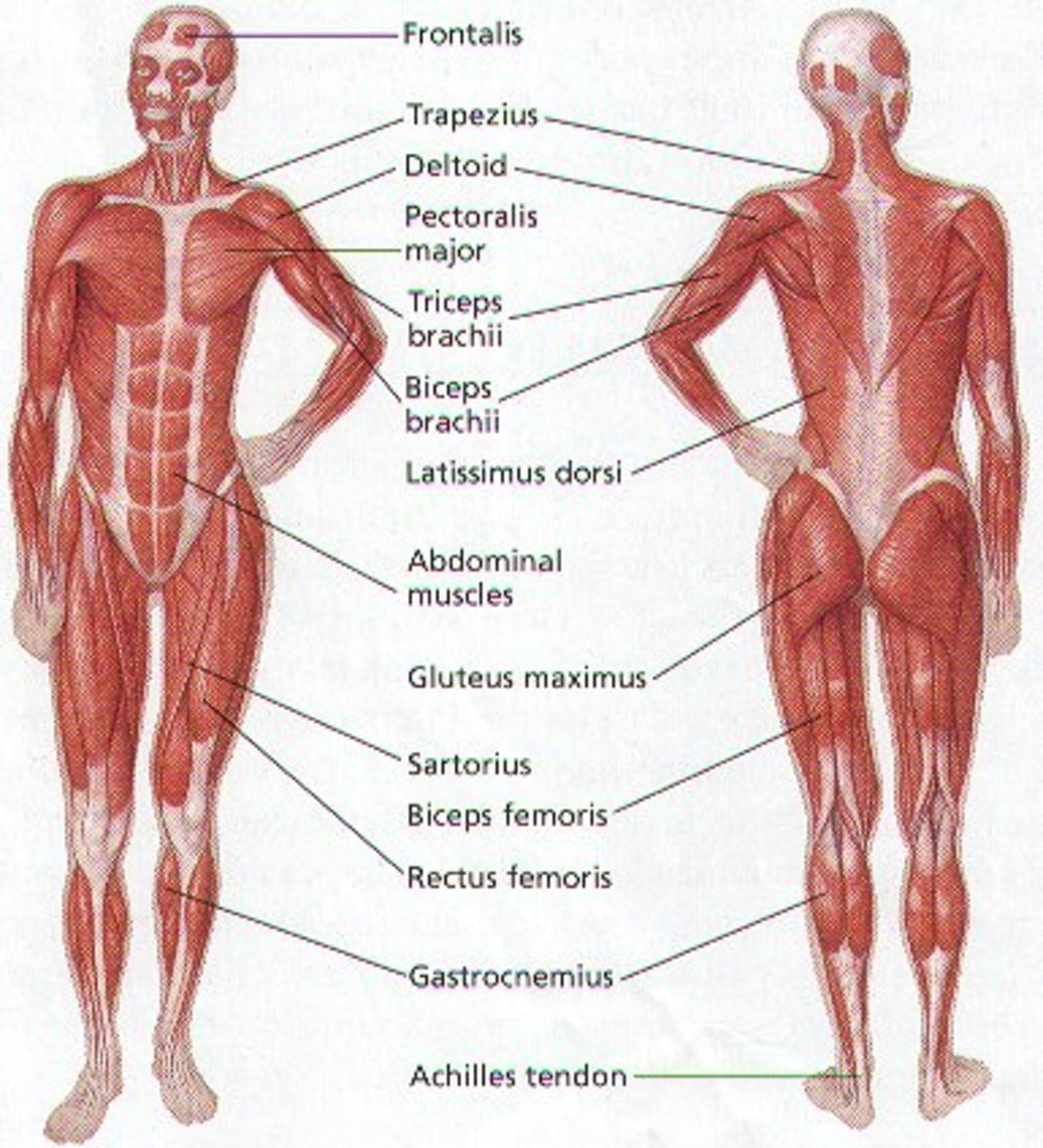 HUMAN BODY MUSCULAR SYSTEM