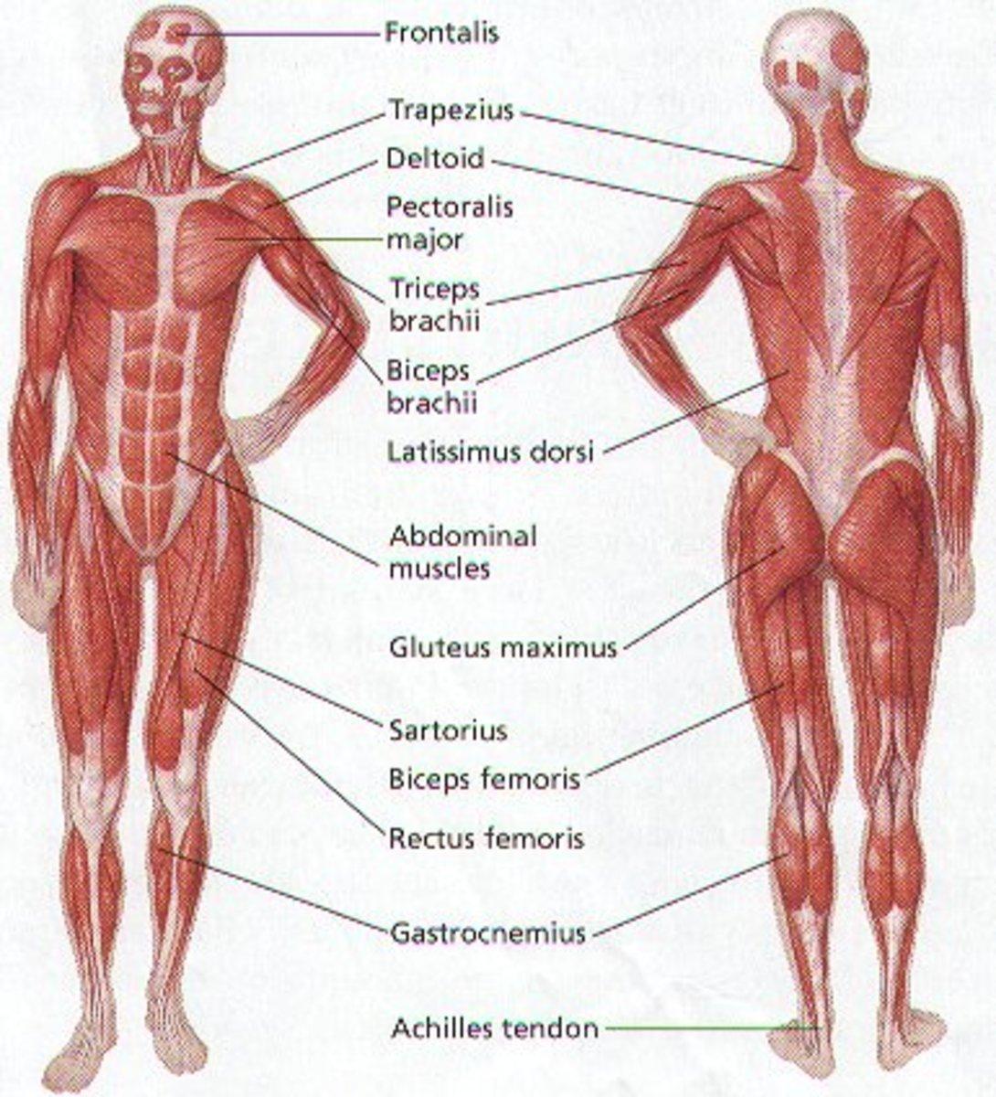 HUMAN BODY MUSCULAR SYSTEM