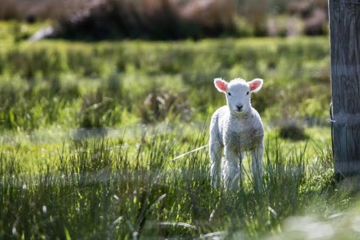 the-lamb-of-god