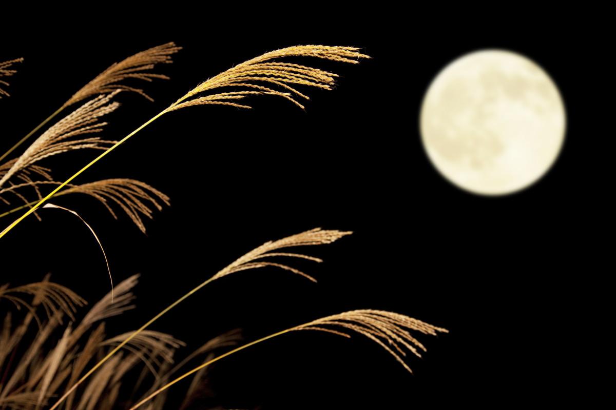 Susuki (Japanese silver grass)