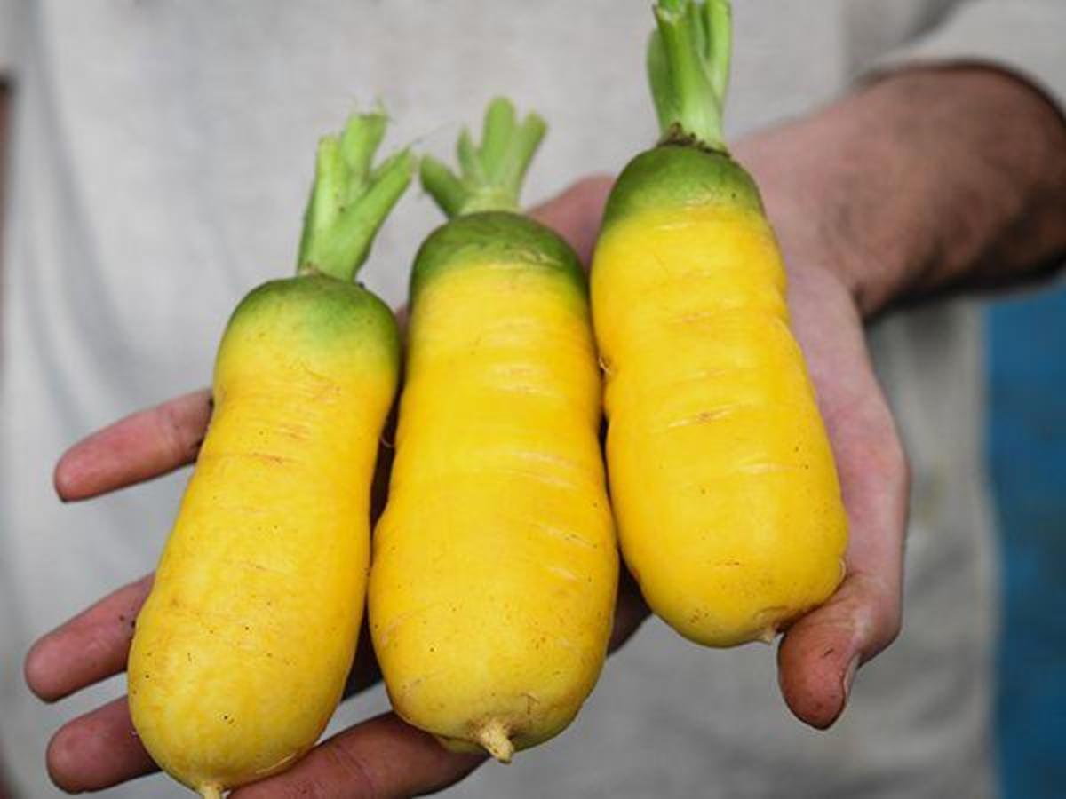 Uzbec Golden Carrot
