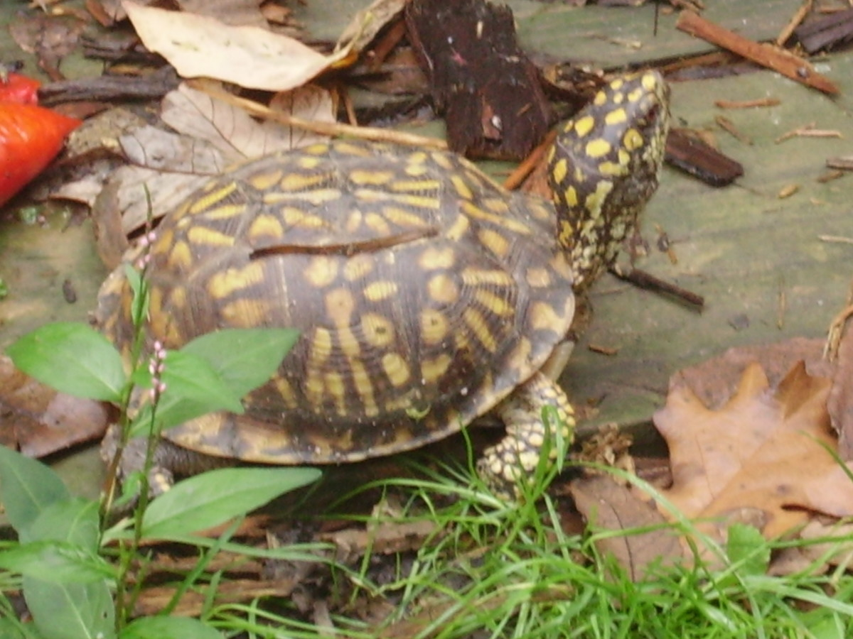 dad-why-do-the-little-box-turtles-try-to-cross-the-road-can-we-help-them