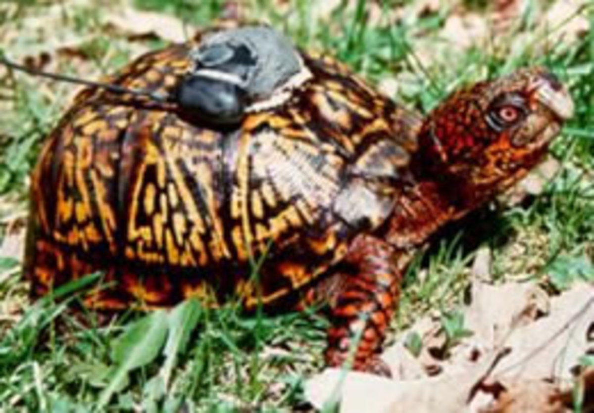 Research studies on box turtles suggest they live their whole life on a 2 -4 acre home range and instinctively home by navigating the sun.