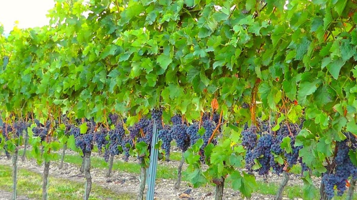 We have plenty of wine grapes in America. The United States produces a large amount of food grapes and wine grapes from cost to coast, including in California and around the Lake Erie shores of Ohio.