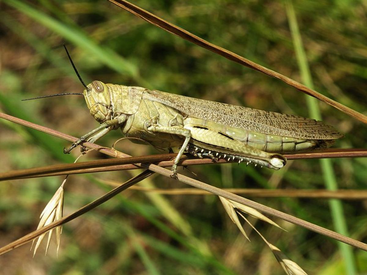 Grasshoppers can be a real danger to crops when they appear in mass.