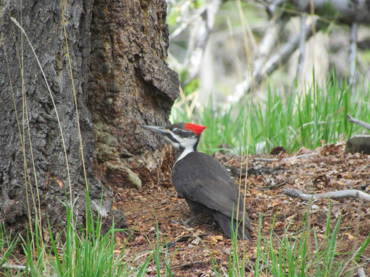 This is a Pileated woodpecker that I photographed in Jasper in 2013. I saw another one during my hike in Banff.