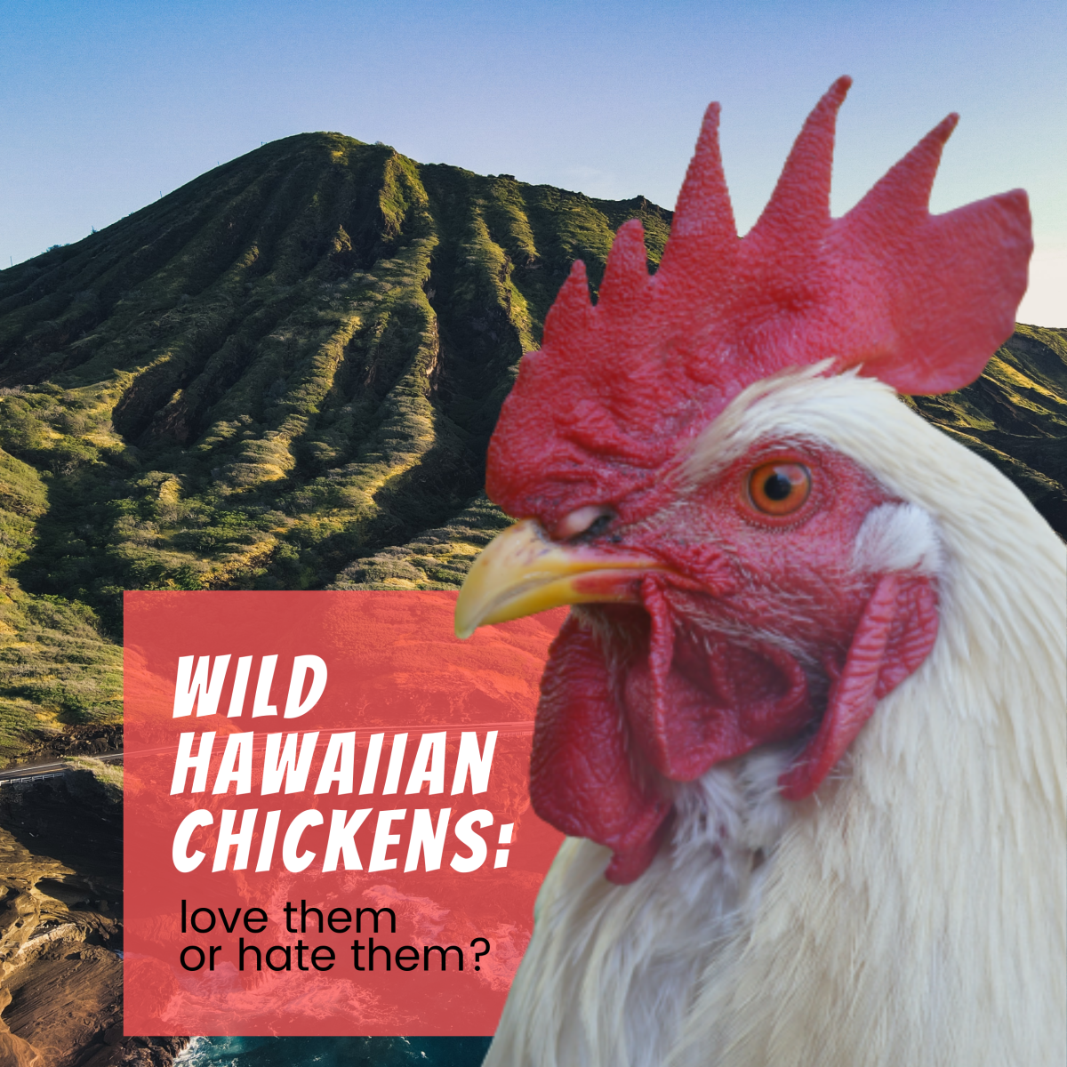 Roosters on Oahu: Love Them or Hate Them?