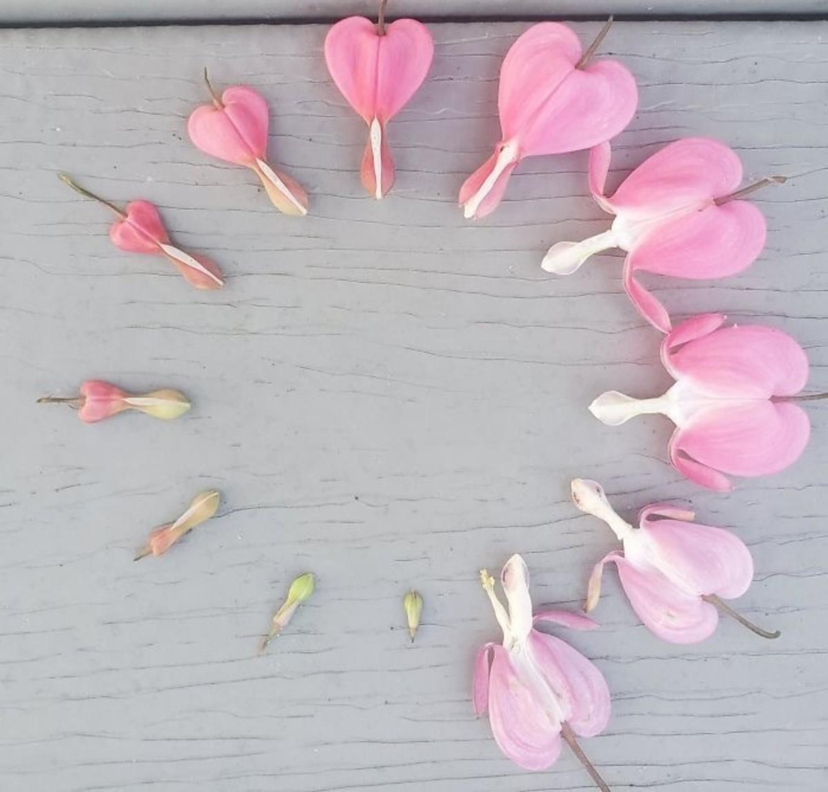 poem-a-beauteous-bleeding-heart-flower