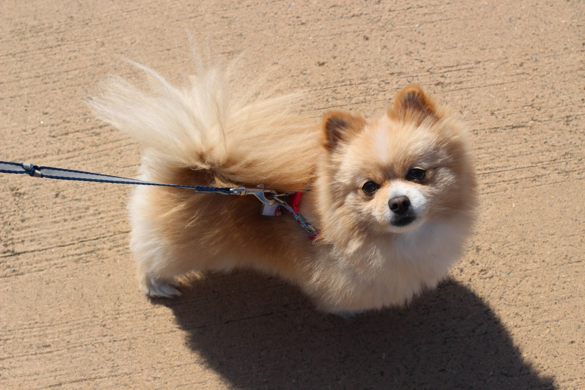 Pomeranians are fluffy, cute and strong-willed.