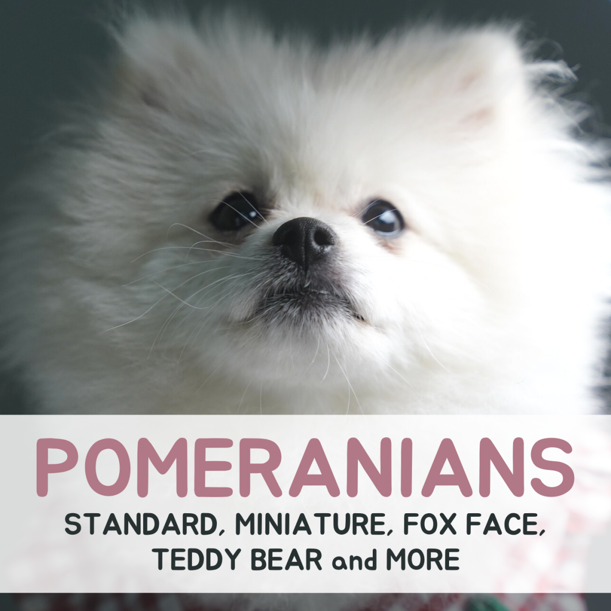 Learn more about the recognized and unofficial types of Pomeranians, and get general information about the breed as well!