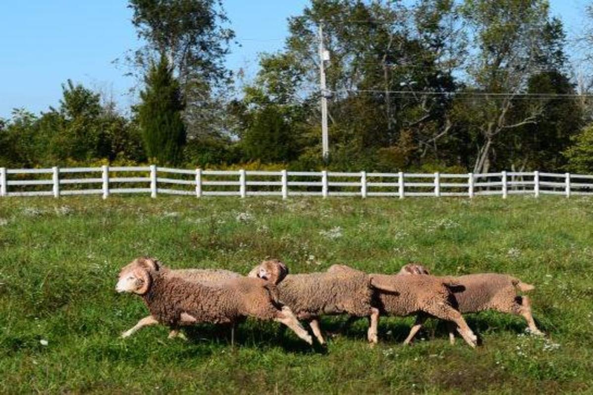 Small flock of Santa Cruz sheep