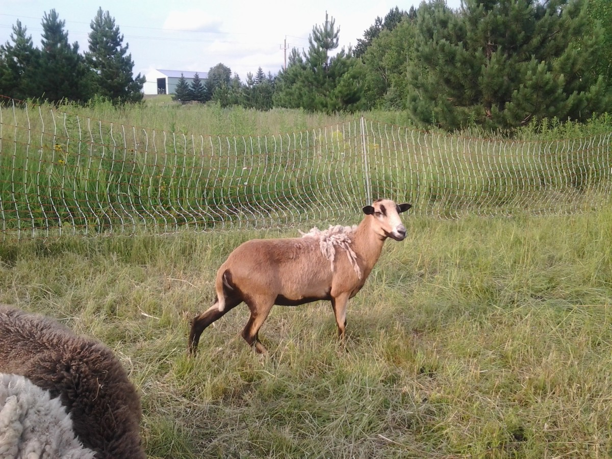 My Barbados ewe, rescued from a property where she was the only sheep alone in a pen