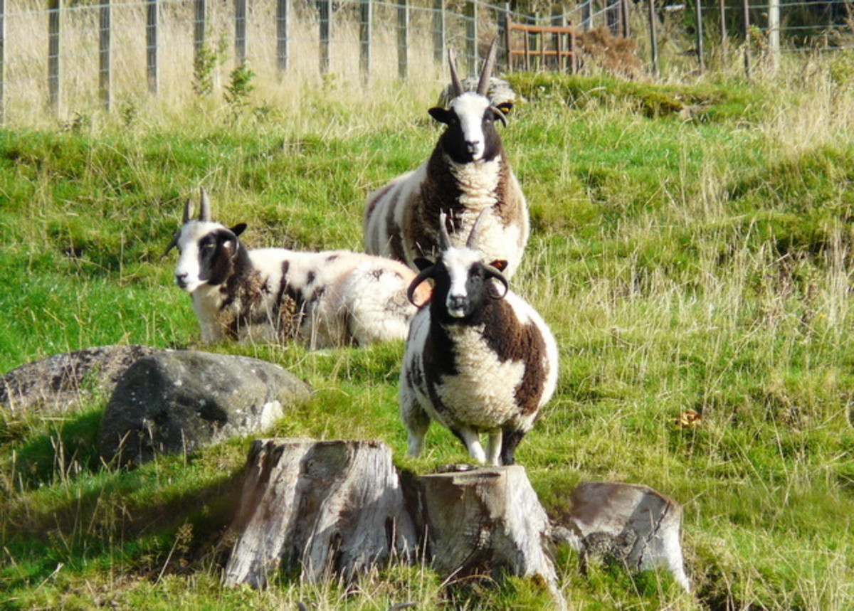 rare-endangered-sheep-breeds-small-hobby-farm