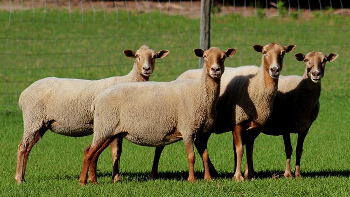 Florida Cracker Sheep after shearing