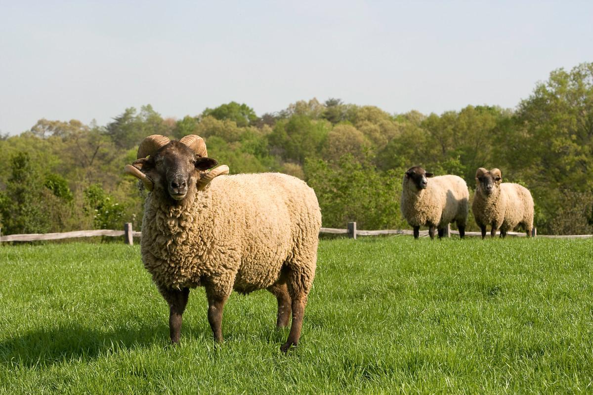 Hog Island Sheep in an historical conservation program at Mount Vernon, Virginia