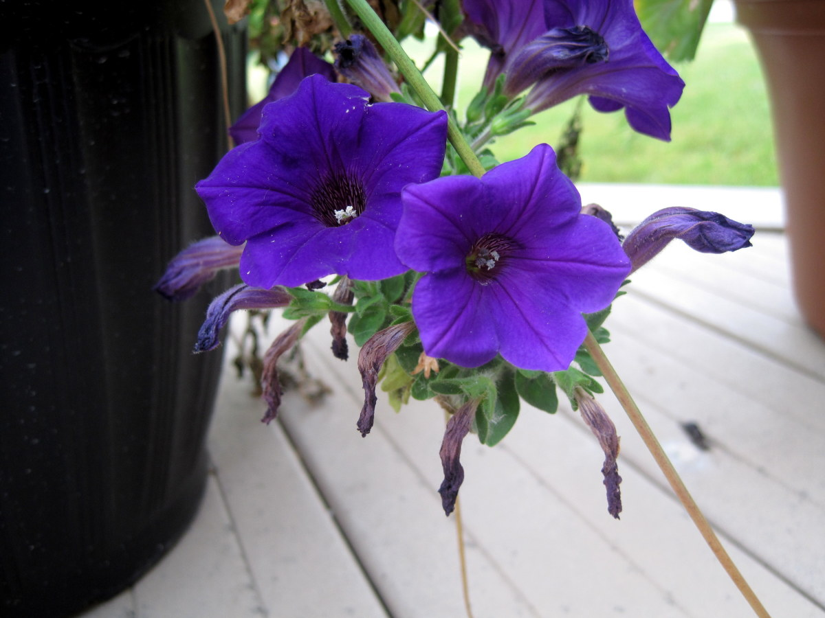 I captured these blooms on the porch, hanging down between two pots.