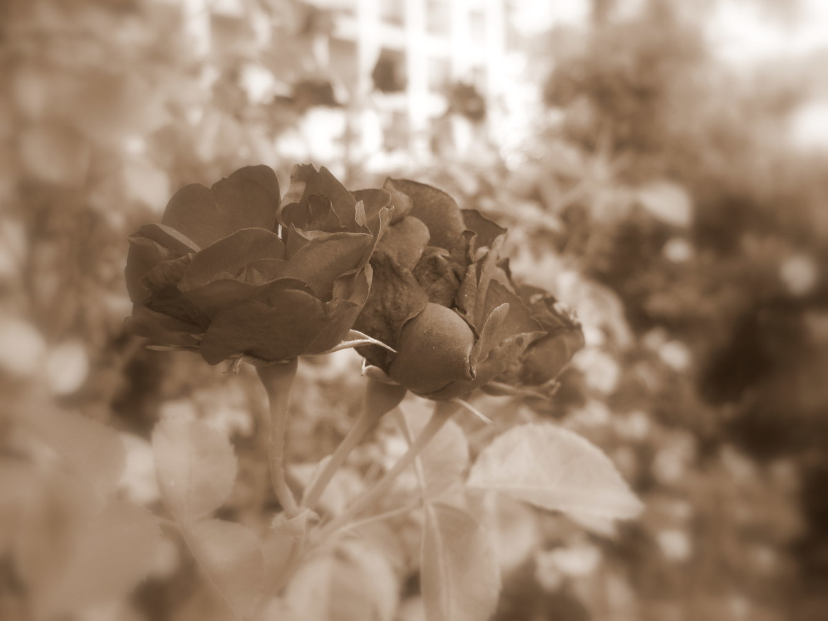 I am a huge sucker for sepia.  With Picasa, I put this photo in sepia and then added a soft focus.