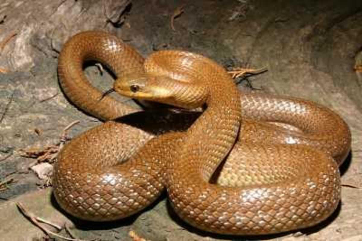 Britain's Rarest Snake