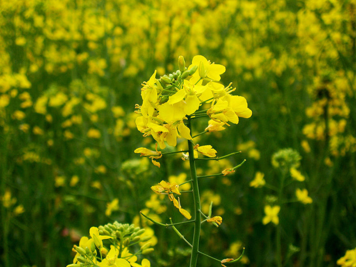 Mustards are several plant species in the genera Brassica and Sinapis whose small mustard seeds are used as a spice and, by grinding and mixing them with water, vinegar or other liquids, are turned into a condiment also known as mustard.