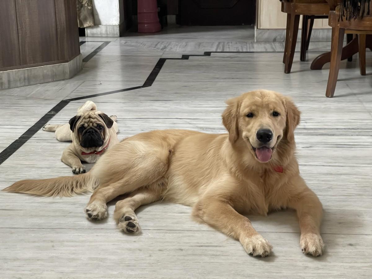 The Golden Retriever and Pug