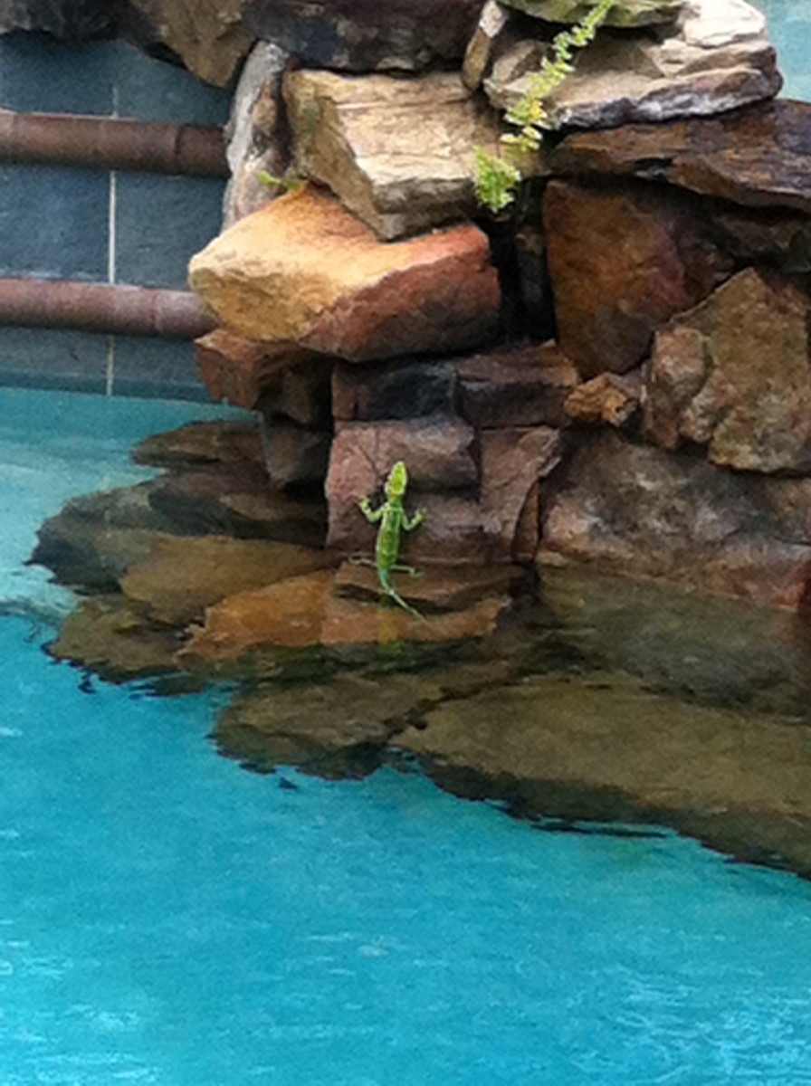 Mick the lime green lizard against the rock wall