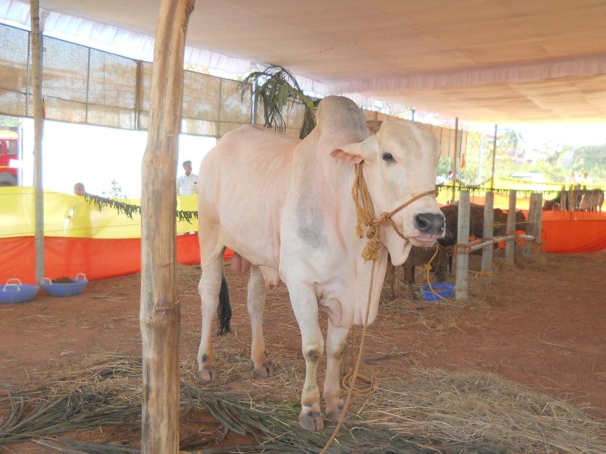 Indian indigenous bull Bos indicus