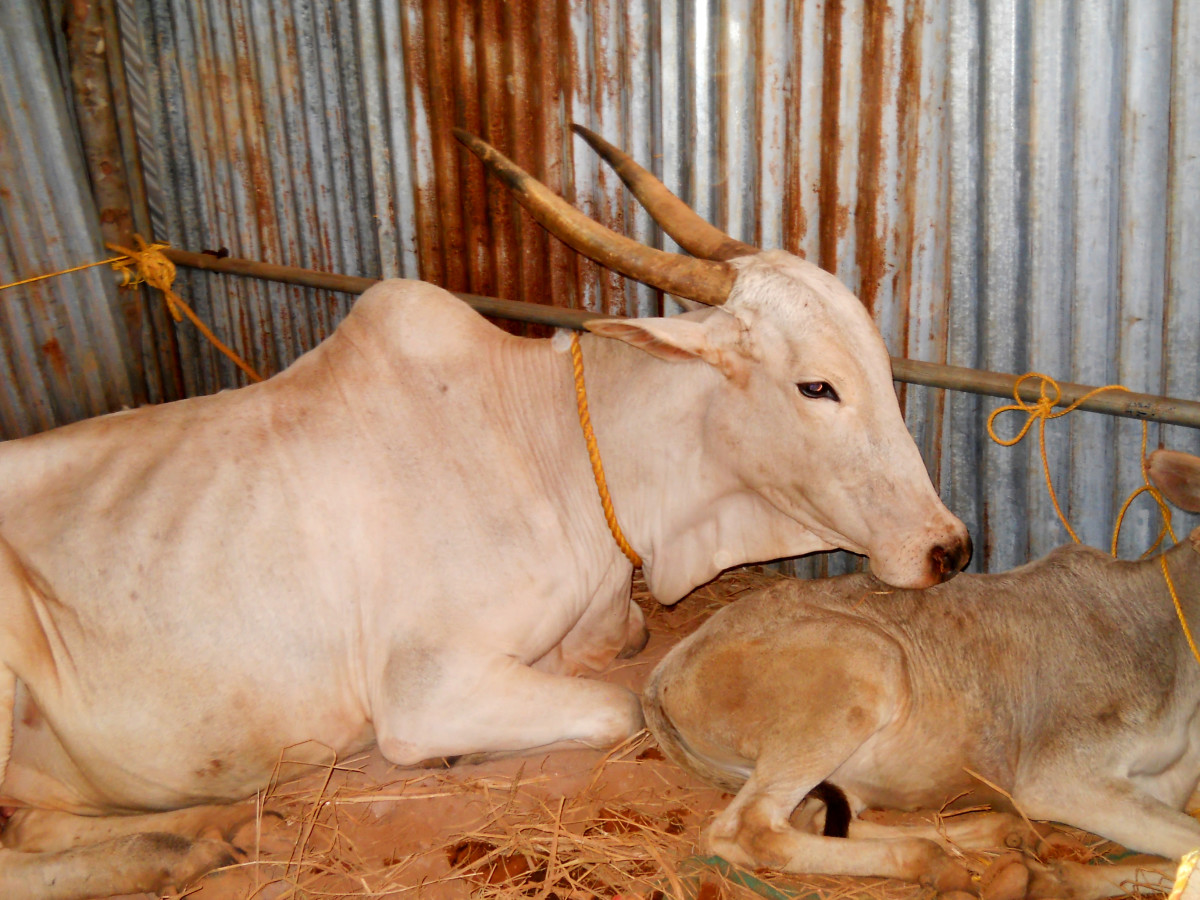 Indian indigenous cow and calf