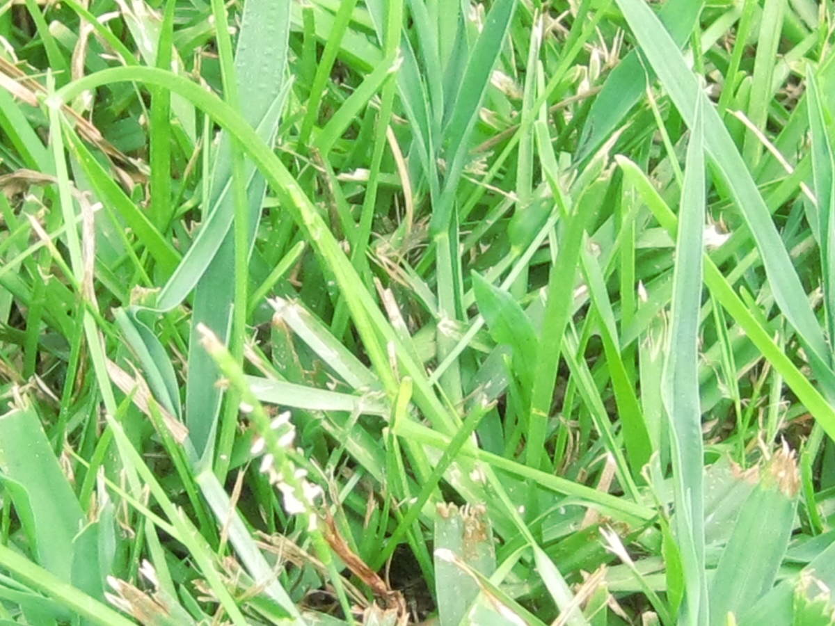 What's so terrible about a little crab grass and errant weeds?