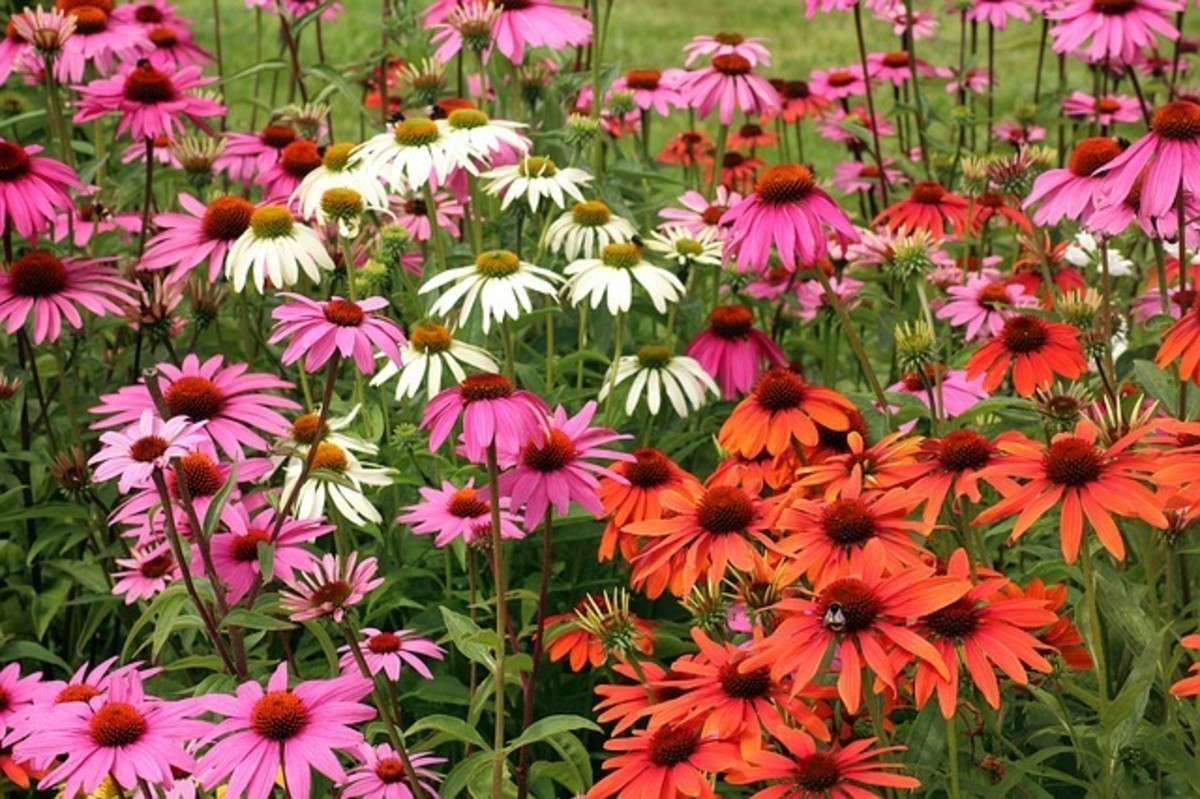 A plethora of bright color from the purple coneflower species.