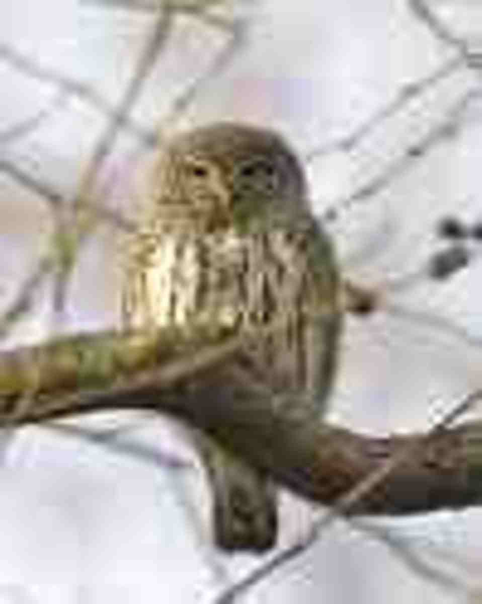 And the smallest, a real cutie!  The Pygmy Owl