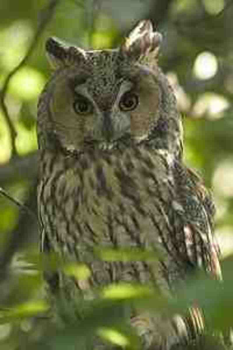 Long Eared Owl.  Often confused with Eagle Owl but is much smaller.