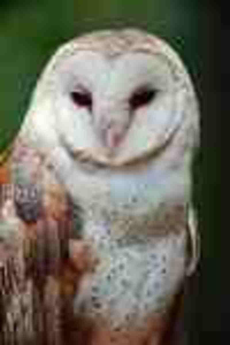 Barn Owl:  Often seen as being a ghost!