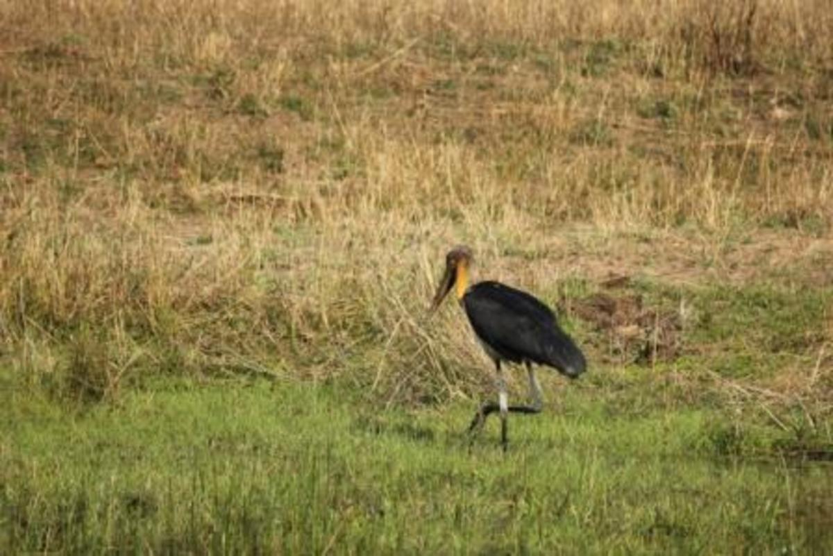 Lesser Adjutant Stork at Kanha