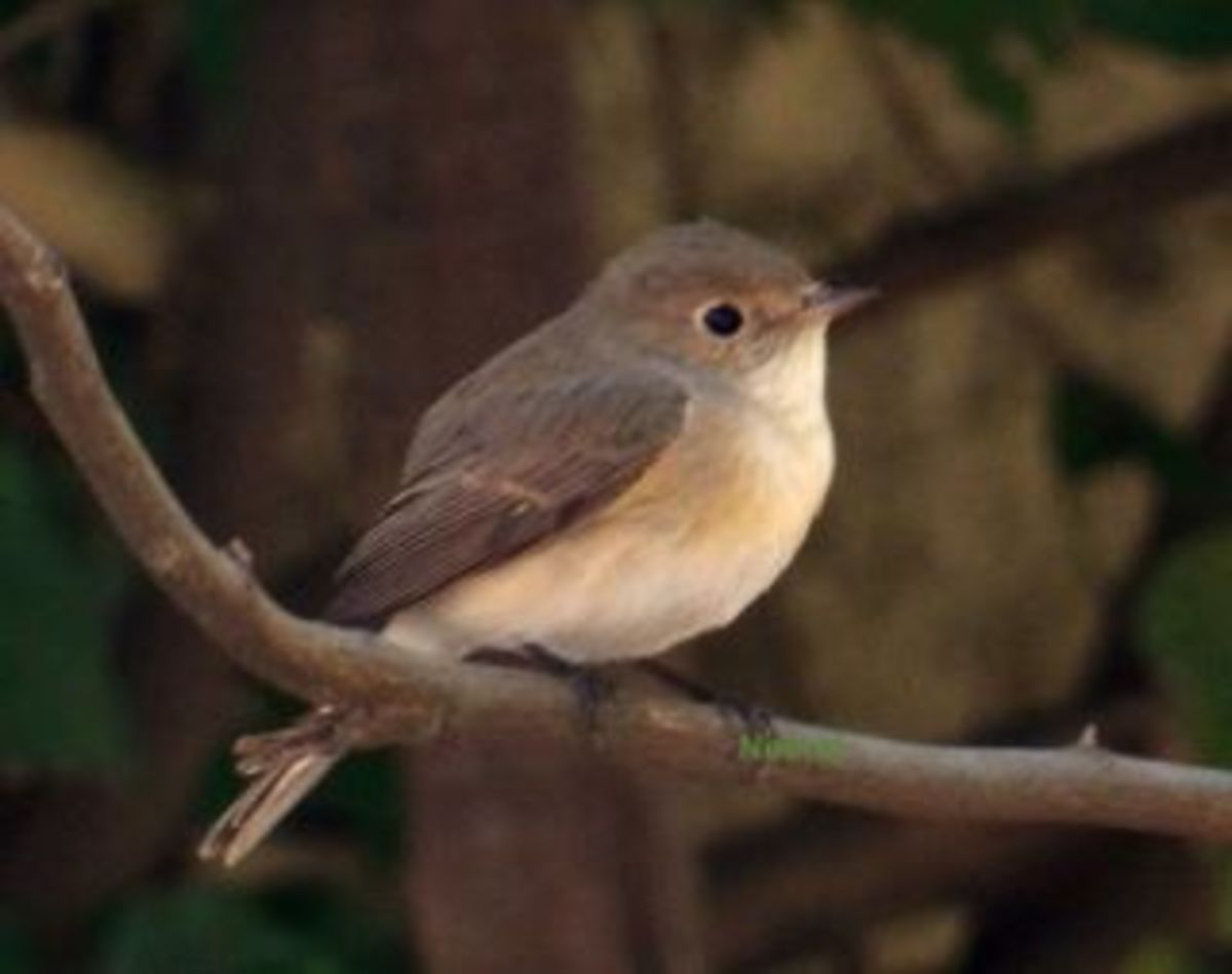 Red Throated Flycatcher
