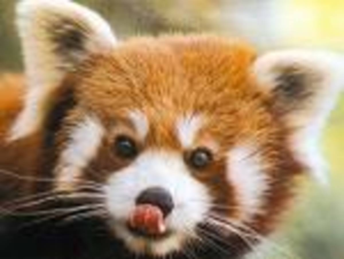 The almost extinct red panda is kept at the Bronx zoo hundreds of feet away from cars zooming by at all hours, separated only by a fence.  Is this how an endangered species should be kept?