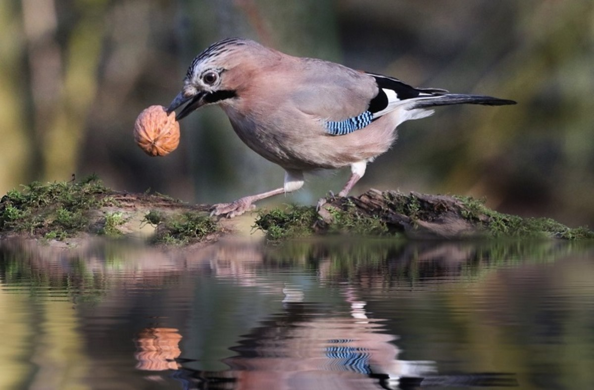 Birds have learned to open walnuts by dropping them repeatedly onto a hard surface.