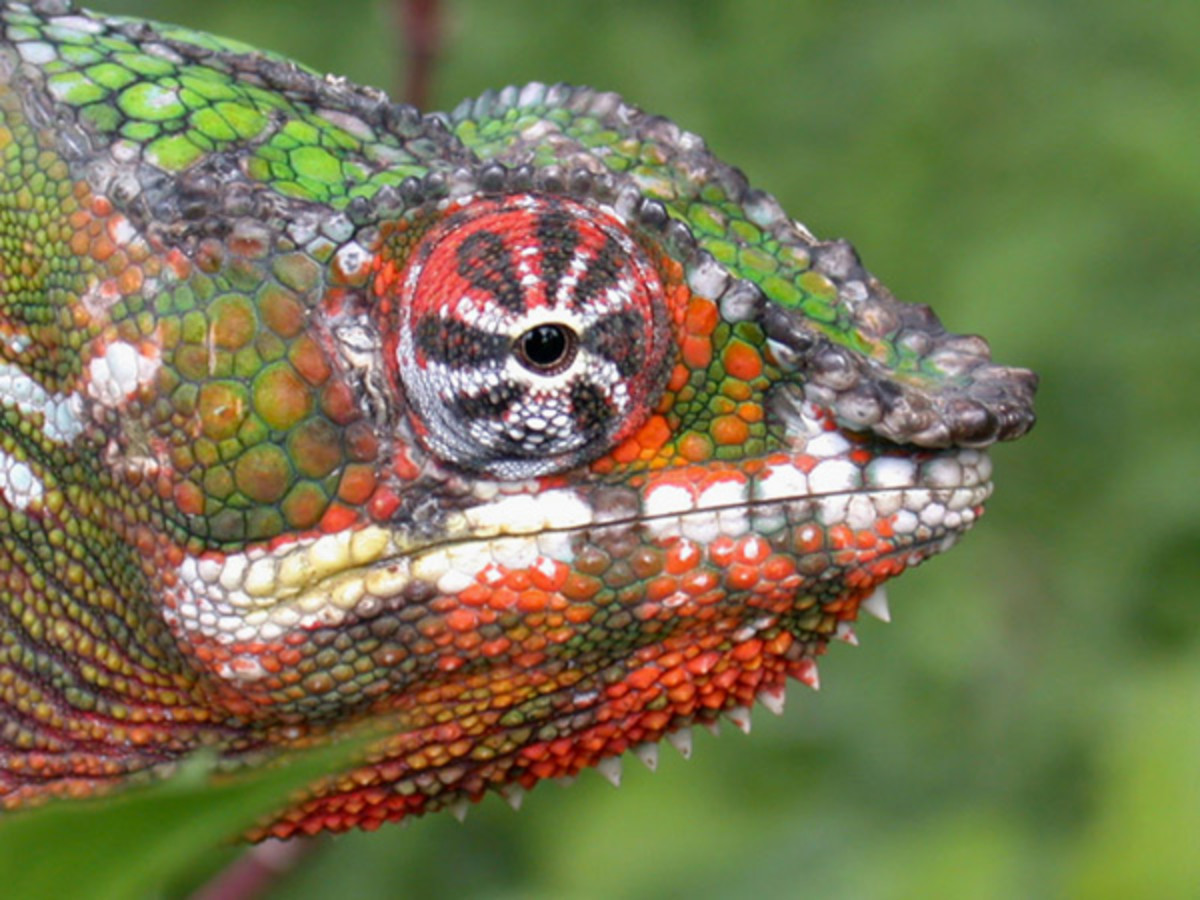 The colorful panther chameleon