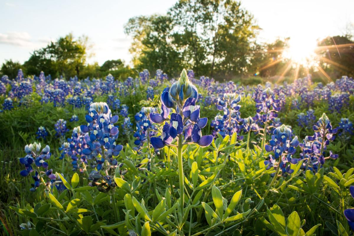 Bluebonnets grow in full sun and are plentiful in north, central, and eastern Texas. Often planted along the state's highways, these flowers bloom March-April. Texas is known as The Bluebonnet State; bluebonnets are the state flower.