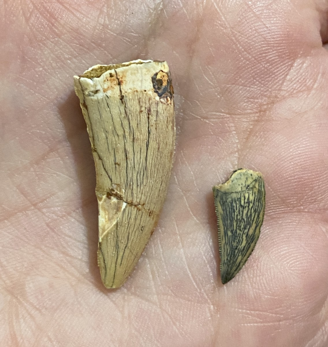 Size comparison between an authentic 1.4 inch Deltadromeus tooth and 0.60 inch Dromaeosaurus tooth