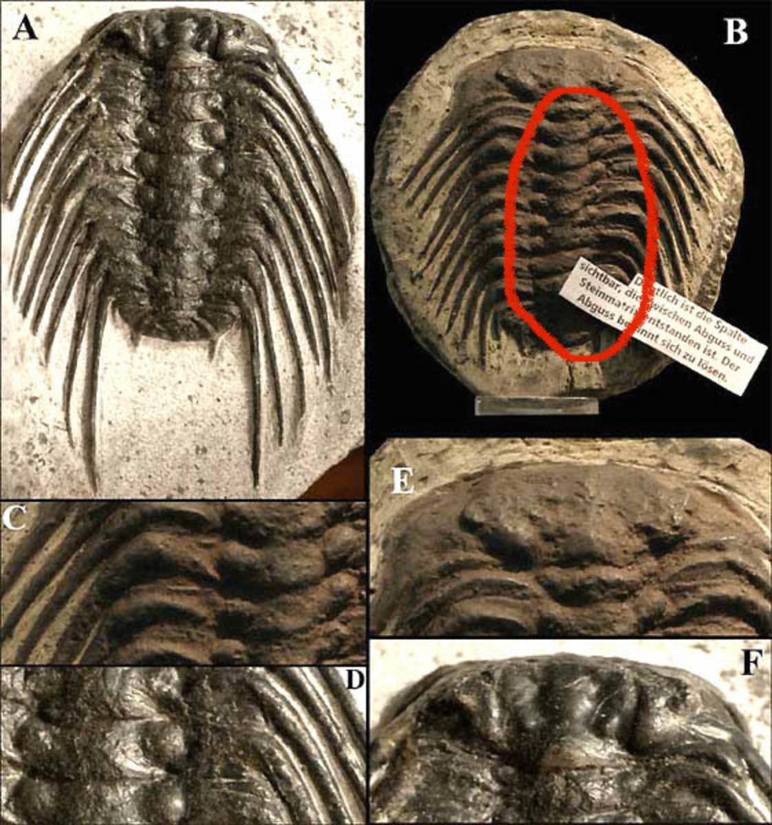 Comparison between an authentic trilobite fossil and a fake one. The specimen shown in images B, C, and E is fake. Note the crooked, asymmetrical body segments.