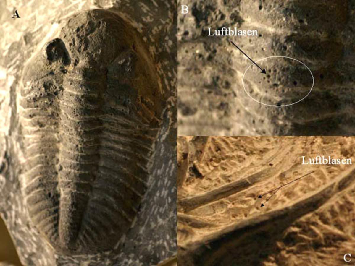 A fake trilobite containing small holes throughout the exoskeleton