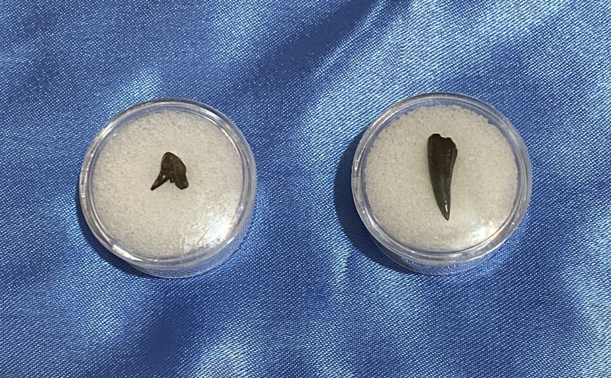 Permian Period shark and amphibian teeth. Left: Orthacanthus, Right: Eryops